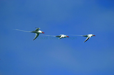 Red Billed tropicbirds Plaza Island Galapagos