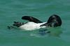 penguin_release_preening_18186