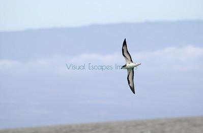 Galapagos Petrel / Dark Rumped Petrel