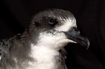 8330_Galapagos petrel