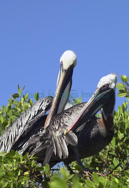 Pelicans_5892
