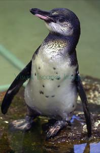 8024_Galapagos penguin