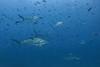 Scalloped hammerhead sharks, Sphyrna lewini<br /> Darwin Island, Galápagos, Ecuador
