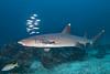 White-tipped reef shark, Triaenodon obesus<br /> Cabo Marshall, Isabela Island, Galápagos, Ecuador