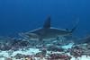 Scalloped hammerhead shark, Sphyrna lewini<br /> Wolf Island, Galápagos, Ecuador