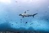 Scalloped hammerhead shark, Sphyrna lewini<br /> Wolf Island, Galápagos Islands , Ecuador