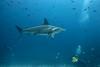 Scalloped hammerhead shark, Sphyrna lewini<br /> Darwin Island, Galápagos, Ecuador