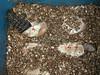 Hatching_Iguanas_0173