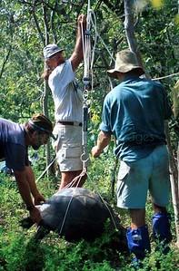 Tortoise work on Alcedo Volcano