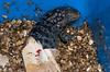 Hatching_Iguana_17804