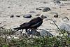Magnificent frigate bird, Fregata magnificens<br /> Seymour Island, Galápagos, Ecuador