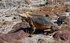 Galápagos land iguana, Conolophus subcristatus<br /> Seymour Island, Galápagos, Ecuador