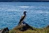Blue-footed booby, Sula nebouxii<br /> Seymour Island, Galápagos, Ecuador