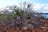Magnificent frigate bird nests, Fregata magnificens<br /> Seymour Island, Galápagos, Ecuador