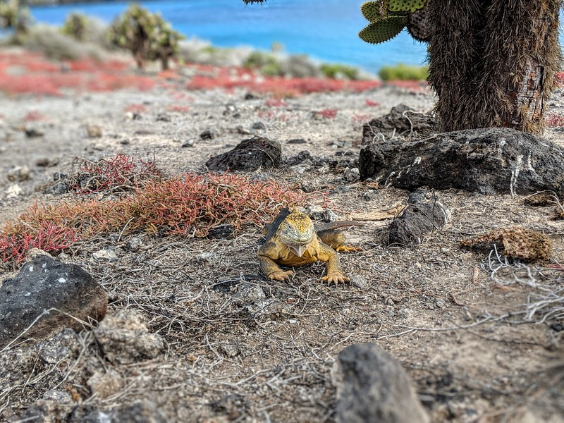Galapagos Islands Trip - Iguana walking