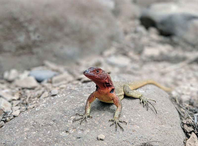 Galapagos Islands Trip - Lava lizard