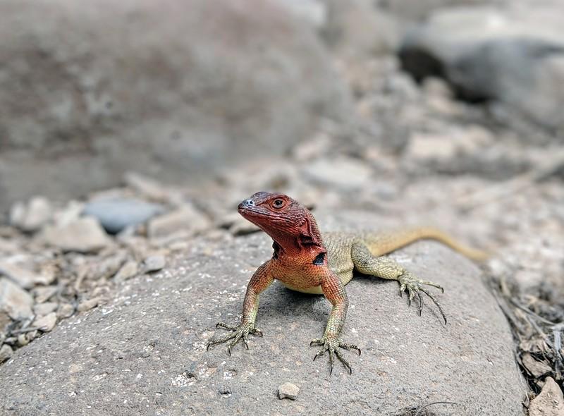 Galapagos Islands Trip - Lava lizard