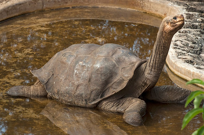 """Lonesome George,"" the last Pinta Island Tortoise.  B"