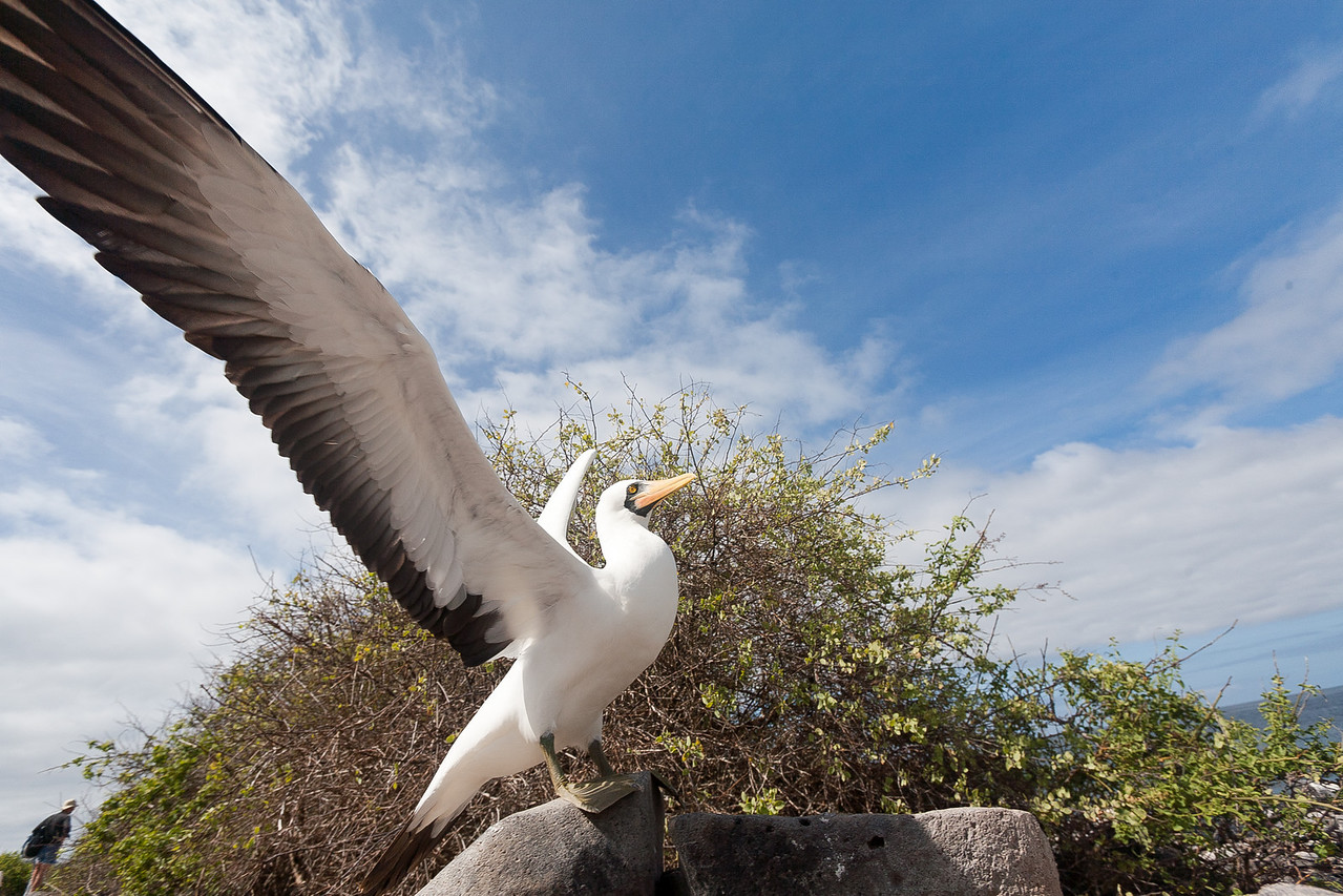 The racing booby (nazca) having a good stretch, with my dad in the background.