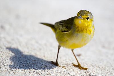 A beautiful little yellow warbler.