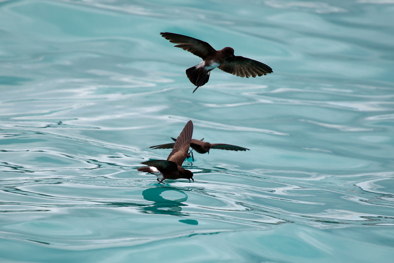 These little storm petrels like to dance along the surface of the water just at the rear of the boat, scooping up the microscopic crustaceans that are channelled into a stream running alongside the hull.