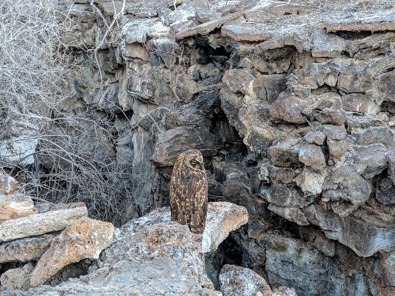 Galapagos Islands Trip - Owl