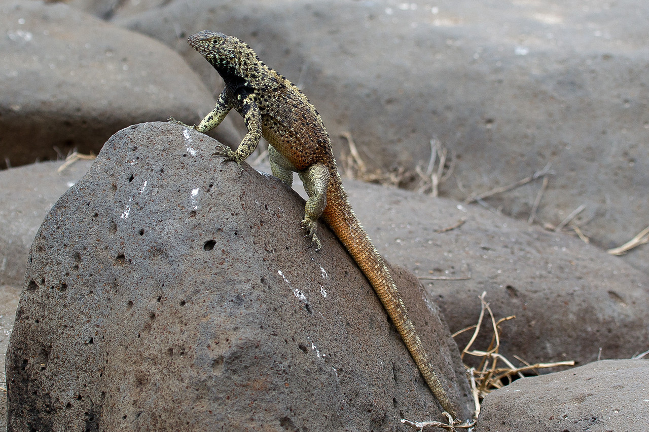 This lava lizard was threatening me by bouncing up and down on his front legs.