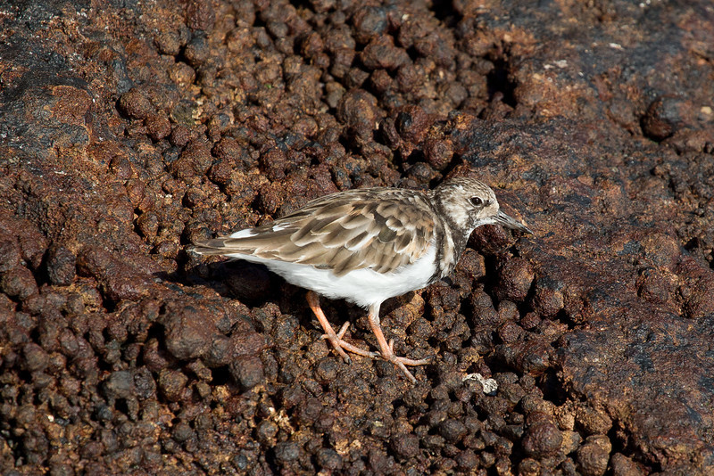 A short sail round the same Isla Sant Maria brought us to Punta Cormoran. This bird is called a ruddy turnstone because it does exactly that, looking for its dinner under every ruddy little stone.