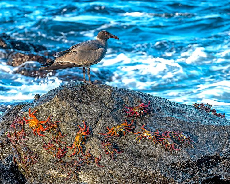 Galapagos Gull + Sally Lightfoot Crabs
