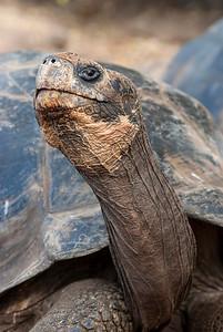 Santa Cruz giant tortoise, Chelonoidis (Geochelone) nigra (elaphantopis) porteri