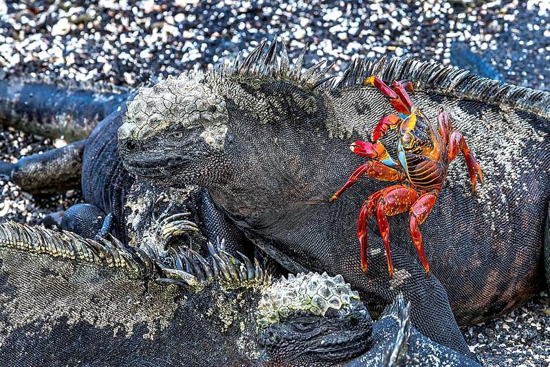 Marine Iguana + Sally Lightfoot Crab