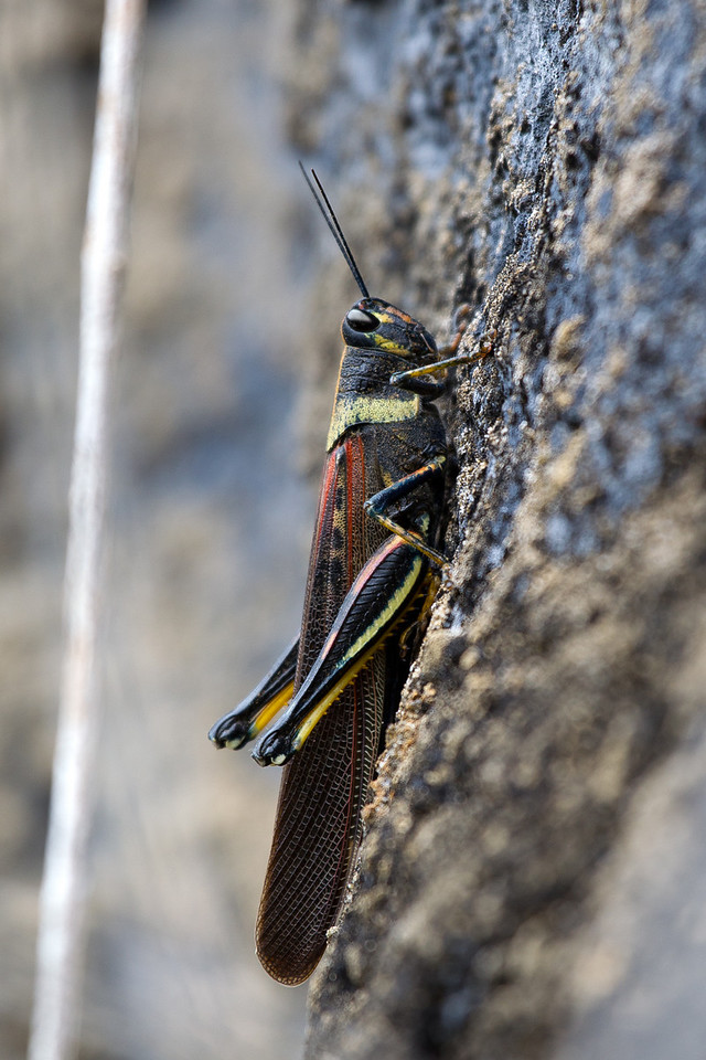 Sailing overnight brought us to Punta Pitt, one of the more hilly islands we visited. This grasshopper is about 3 inches long.