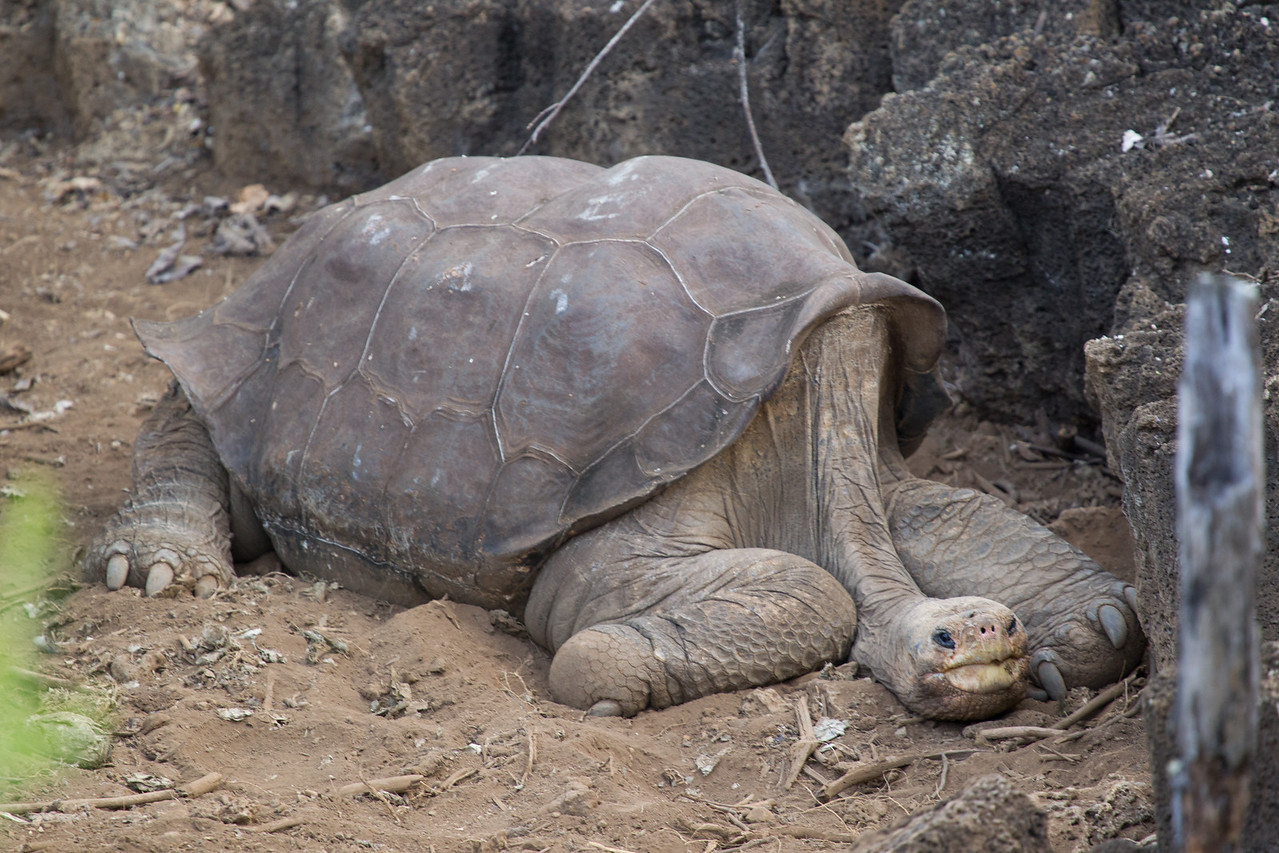 This is Lonesome George and no wonder he looks so down as his is a very sorry tale.<br /> <br /> He is the last remaining specimen of the Pinta subspecies of giant tortoise after goats had been introduced to Pinta island and devastated the vegetation. He was rescued into captivity in 1971, and a number of attempts have been made to breed him with closely related subspecies from nearby islands, even successfully producing eggs, but unfortunately all inviable. Attempts are ongoing, but I suspect a little blue pill may be the missing ingredient since he has now topped 100 years and appears somewhat exhausted.<br /> <br /> Without success, the Pinta tortoise will become extinct with his demise.<br /> <br /> UPDATE: Sadly, on the 24th June 2012, Lonesome George passed away taking the Pinta tortoise into extinction.