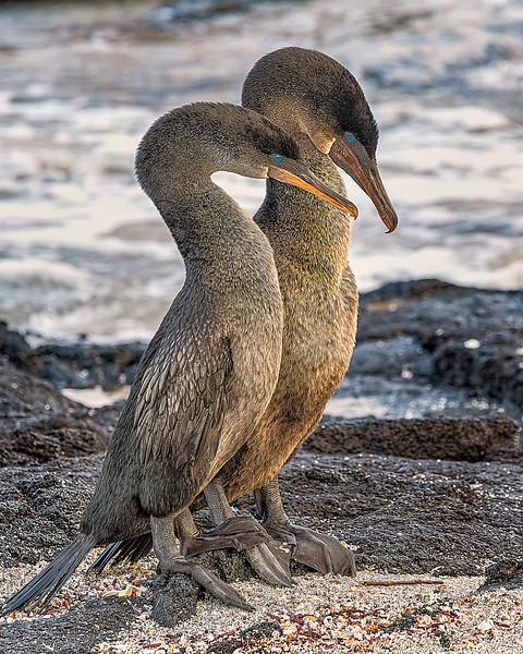 Flightless Cormorant Pair