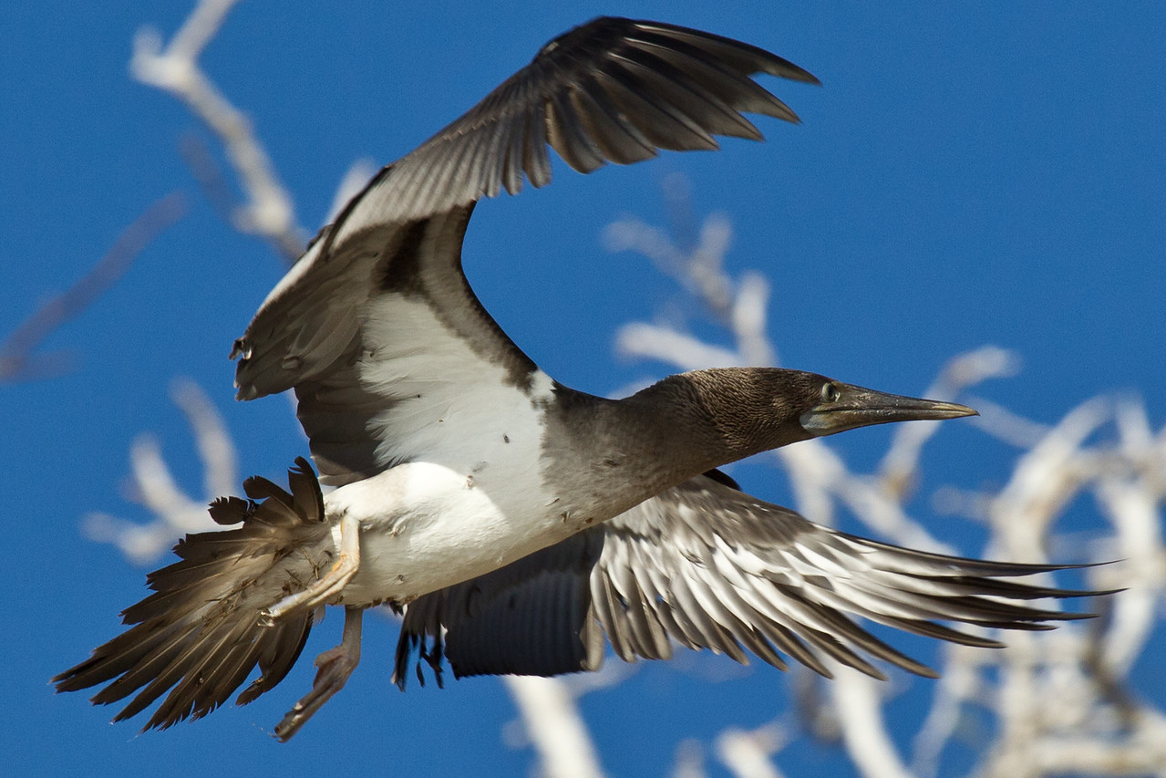 Despite appearances, this blue footed booby was flying forwards.