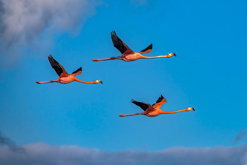 American Flamingo Trio