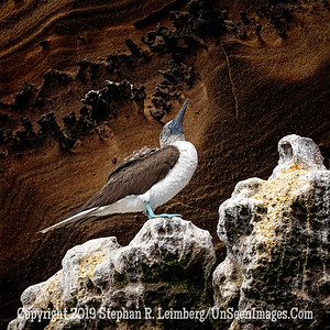Blue-footed Booby Copyright 2019 Steve Leimberg UnSeenImages Com _DSC1667