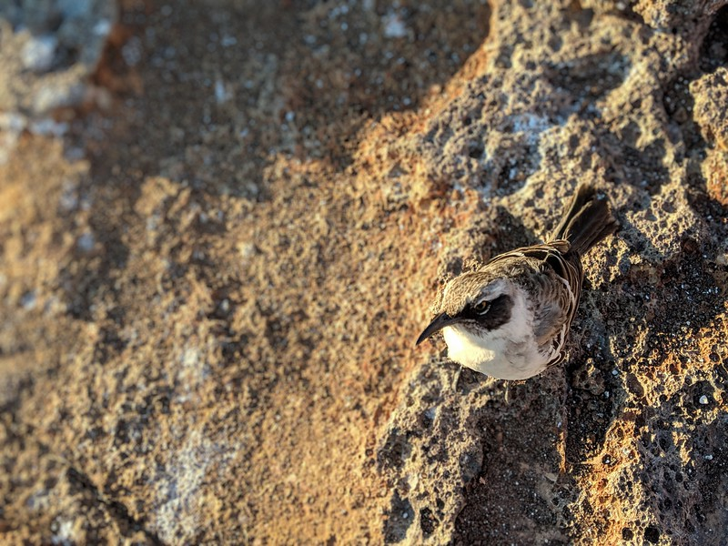 Galapagos Islands Trip - mockingbird