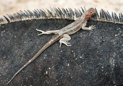 Lava lizard on Fenandina, Microlophus albemarlensis
