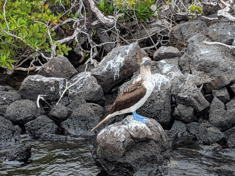 Galapagos Islands Trip - Blue Footed Booby