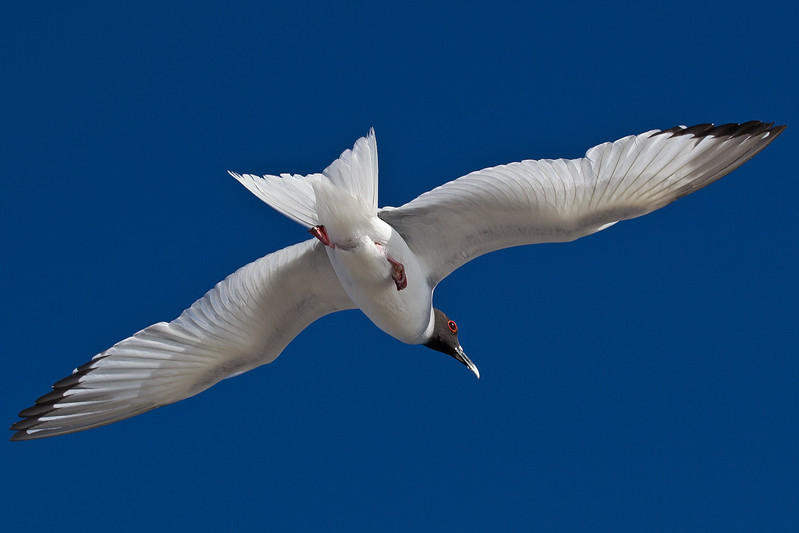 Dad managed to capture this picture of a swallow-tailed gull that appears to be peddling across the sky.