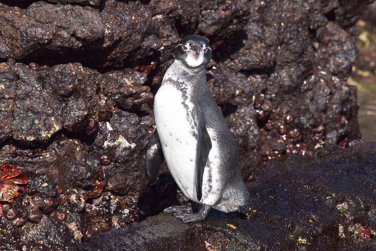The penguins can survive due to the cooling Cromwell Current that keeps the sea temperature between 15 and 28 degrees. They have adapted to deal with the sun by extending their wings and bending over to shade their feet, through which a lot of heat is dispersed, and by panting.