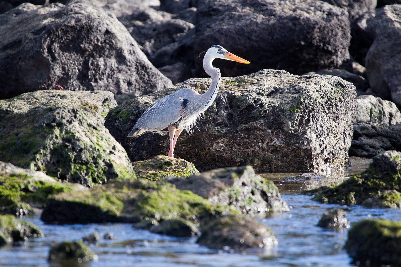 A long time was spent waiting for him to strike, but herons have more patience than I. This was taken after our arrival at Isla Lobos.