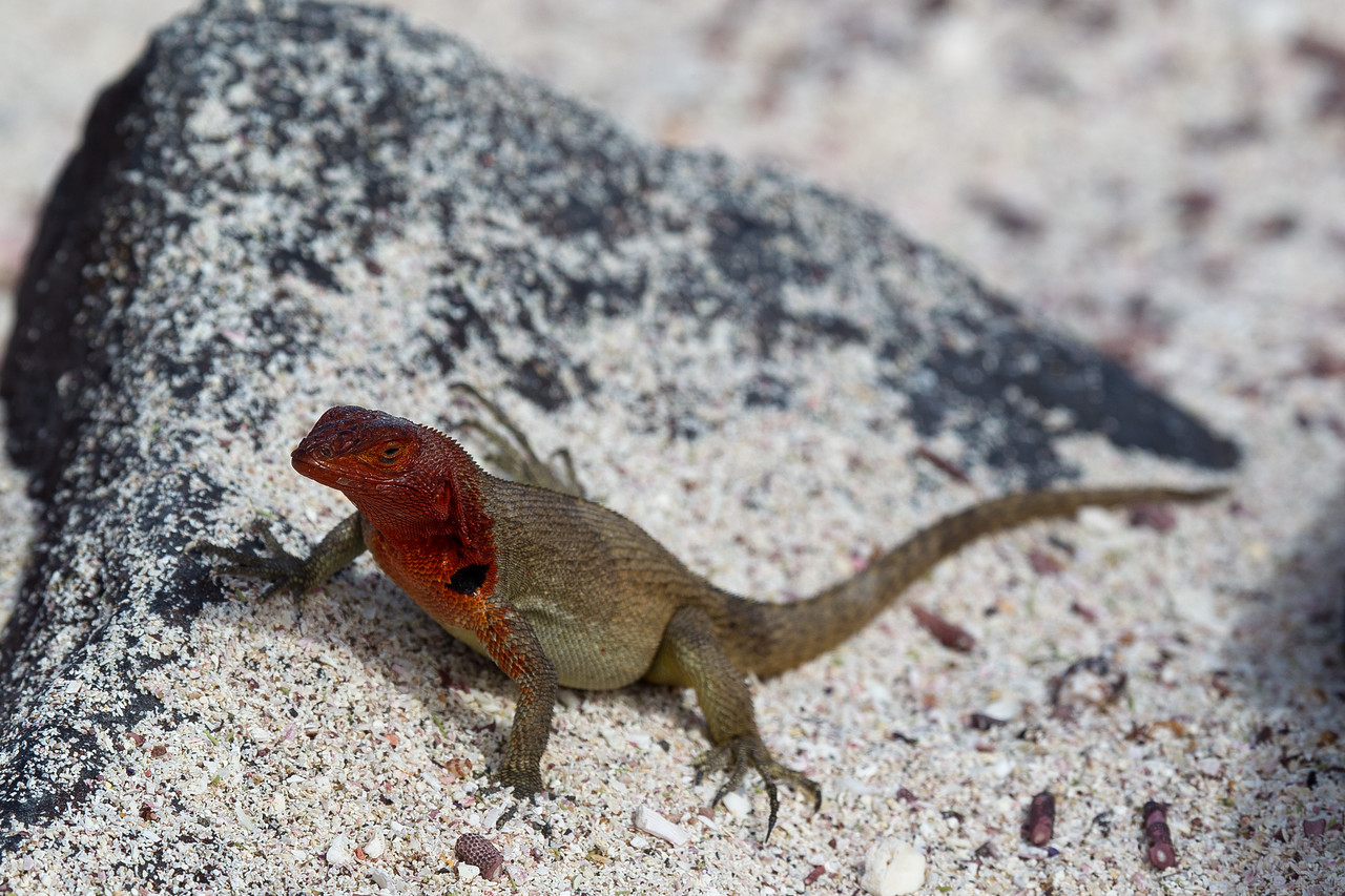Each island has its own sub-species of lava lizard each of which has evolved in their own unique way.
