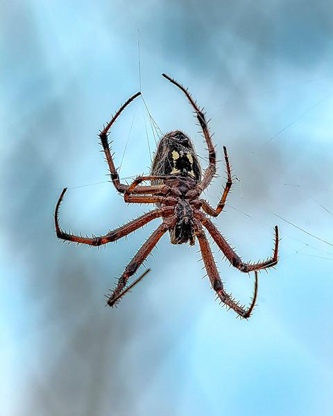 Galapagos Spider