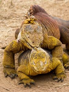 Land iguanas, Conolophus subcristatus