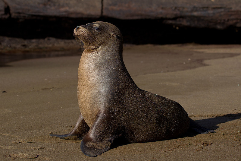 Proud to be a sea lion. There are no seals around the Galapagos Islands, even the so-called Galapagos fur seals are in fact sea lions.