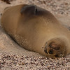We had the opportunity to observe several tiny sea lion pups sleeping on various beaches in the Galapagos.