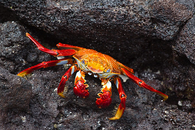 The beautiful colours of the sally lightfoot crab. They were everywhere, and make up a significant portion of many of the resident species' diet. Outside of the Galapagos, they are enjoyed on many a dining table as well.