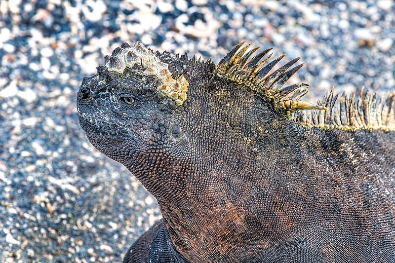 Marine Iguana Profile